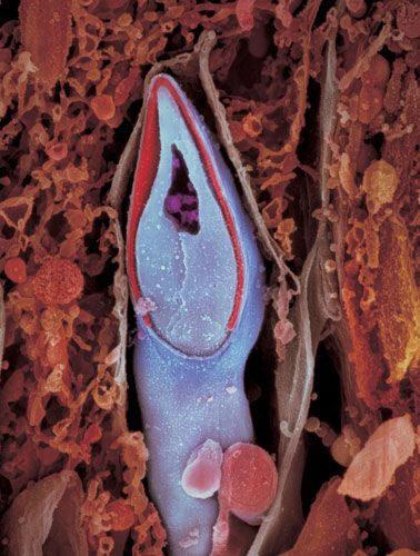 Сперматозоїд в розрізі