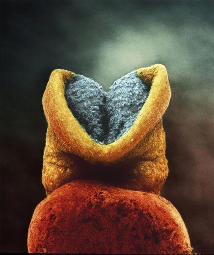 Розвиток ембріона.