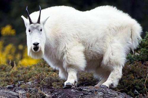 Сніжна коза