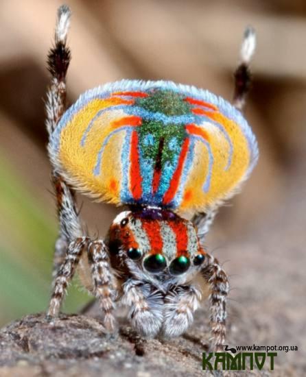 Павук- павич