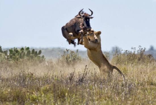 Двометровий стрибок антилопи