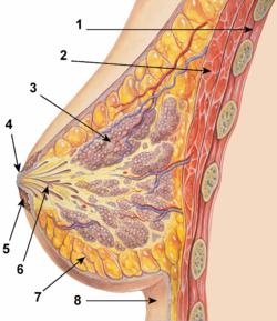 Жіночі груди