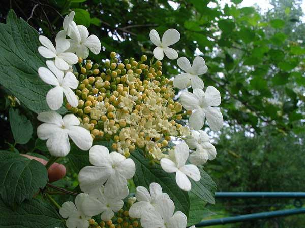 Цвіт калини