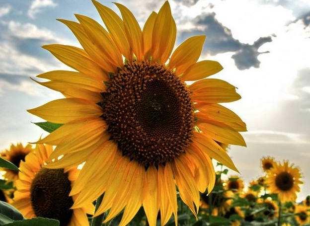 Фотографія соняшника